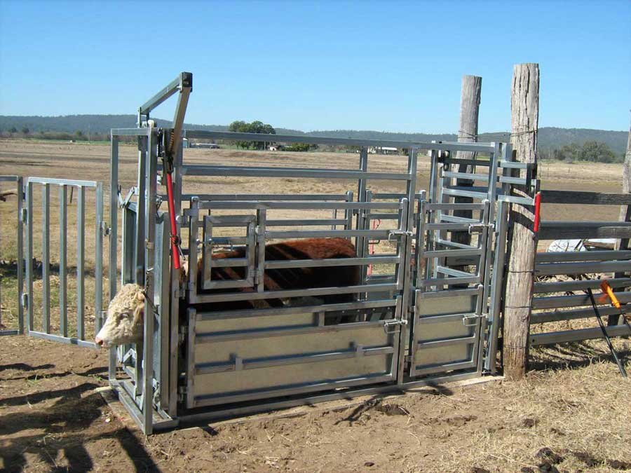 cattle vet crush photo